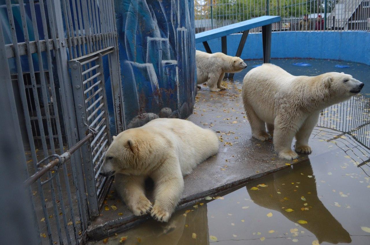 Белым медведям явно тесно в старом вольере. Фото © VK / Пермский зоопарк