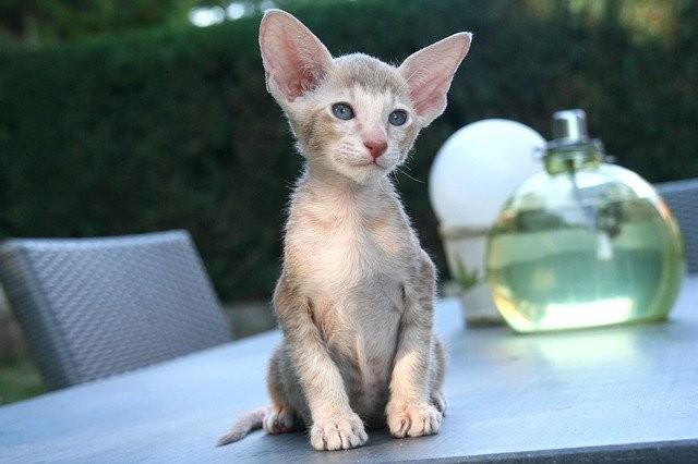 Кошка породы ориентальная. Фото © Pixabay
