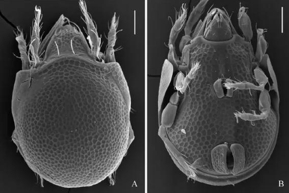 Изображения Trachyoribates viktortsoii sp. nov., полученные методом сканирующей электронной микроскопии в ТюмГУ Ermilov / Systematic & Applied Acarology, 2019