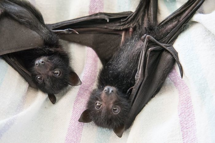 Australian Bat Clinic & Wildlife Trauma Center