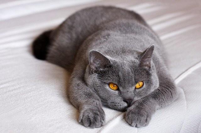 Кошка породы британская короткошёрстная. Фото © Pixabay