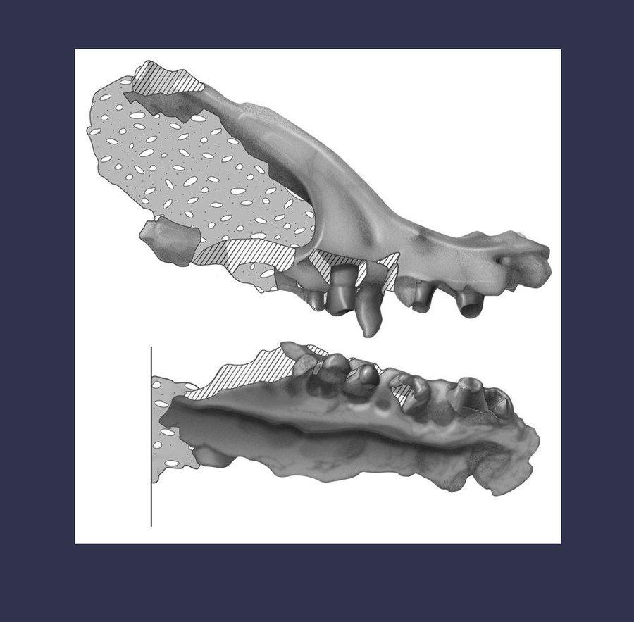 Строение найденных останков древнего ящера. Фото © frankippolito.art