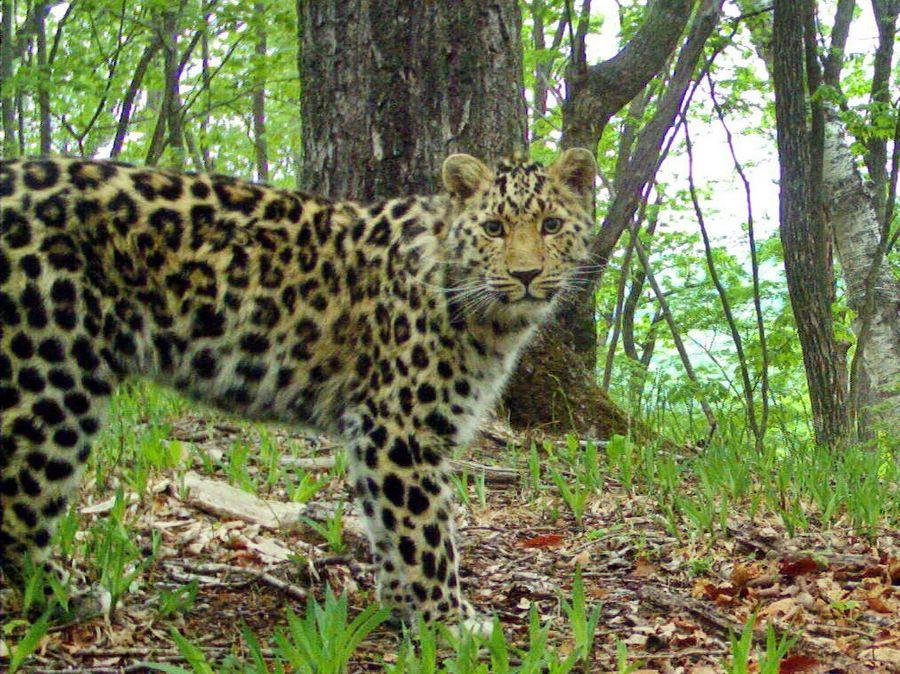 """Дальневосточный леопард. Фото предоставлено национальным парком """"Земля леопарда"""""""