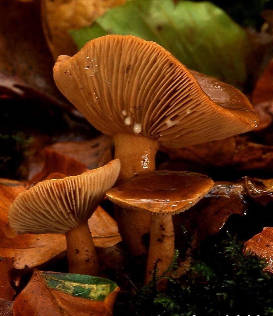 Пластинчатые грибы. Фото © Wikipedia