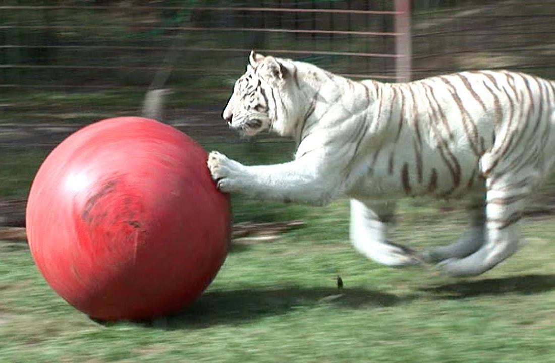 Кадр из видео © YouTube / Big Cat Rescue