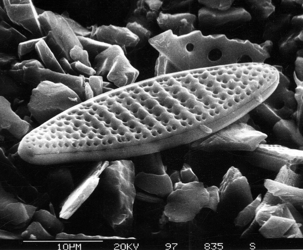 """Снимок диатомовой водоросли. Фото © """"Википедия"""""""