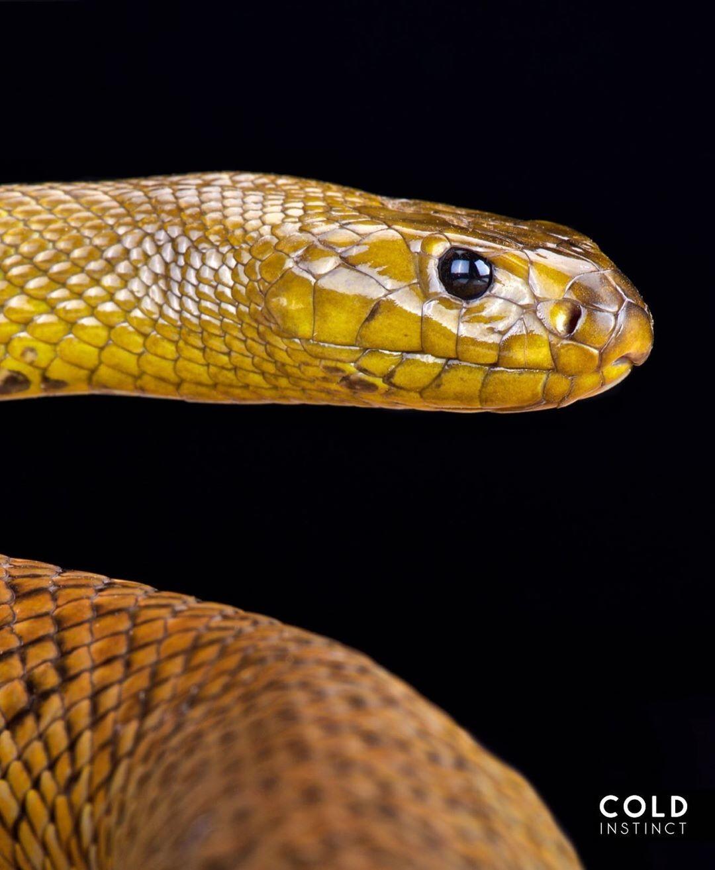 тайпан змея фото