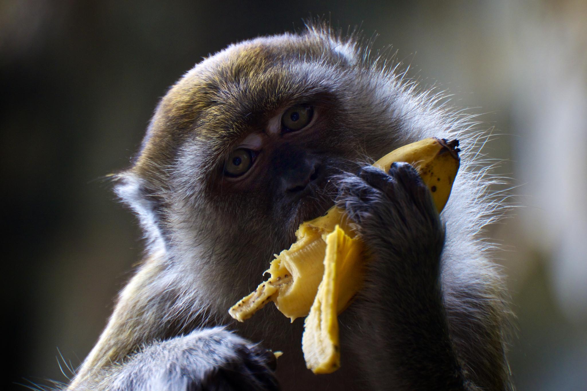 большом обезьяна с бананами в картинках тем