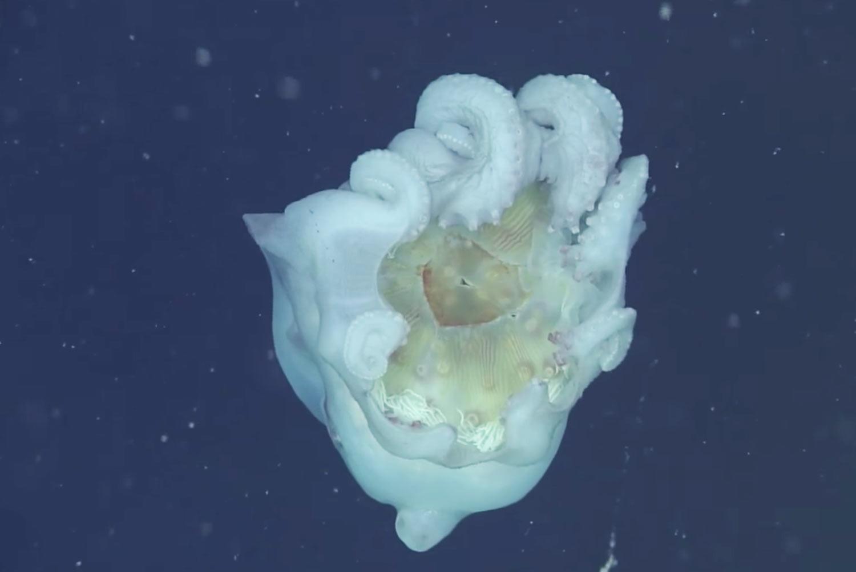 "<p>Кадр видео &ldquo;<a href=""https://www.youtube.com/watch?v=3XSkIg7gRJM"" target=""_blank"">Giant octopus wears jellyfish cape</a>&rdquo;. Скриншот &copy; L!FE</p>"