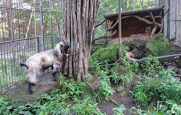 """<p>Фото: <a href=""""http://safaripark25.ru/news/tigrica_ussuri_i_kozjol_tur_zanjali_apartamenty_amura_i_timura"""">Приморский Сафари-парк</a></p>"""