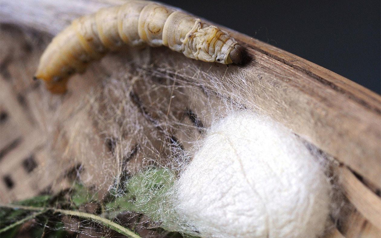 шелкопряд гусеница картинки для лет ведущая