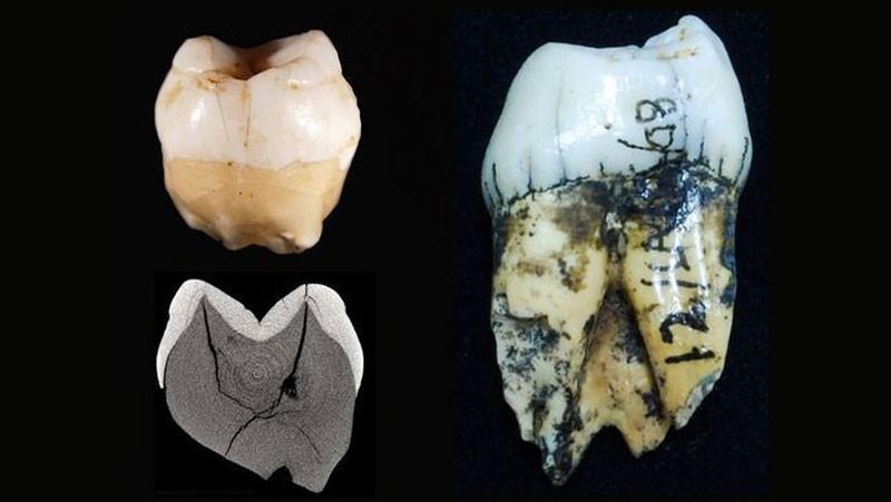 "<p>Слева &mdash; зубы современных людей, найденных в суматранской пещере, справа &mdash; орангутана. Фото: &copy;&nbsp;<span>Tanya Smith, Rokus Awe Due/<a href=""http://polit.ru/article/2017/08/10/ps_teeth/"" target=""_blank"">polit.ru</a></span></p>"