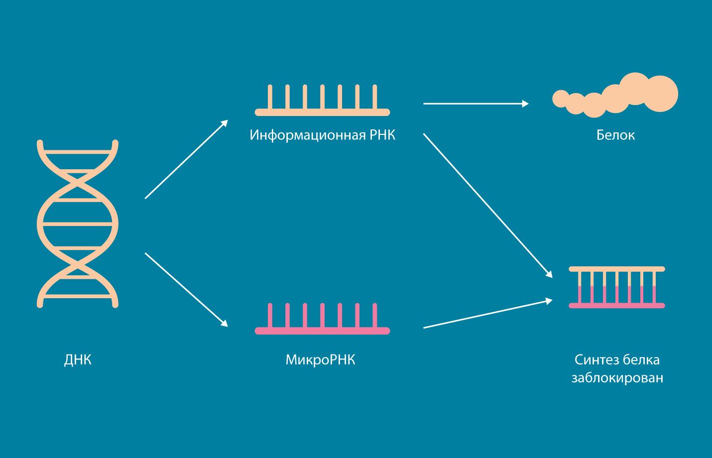 """Работа микроРНК. Если микроРНК """"садится"""" на информационную РНК, то синтез белка с иРНК блокируется. Источник: МФТИ"""