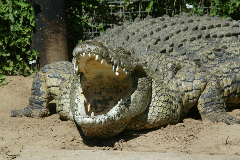 <p><span>Крокодил. Фото: &copy; REUTERS</span></p>