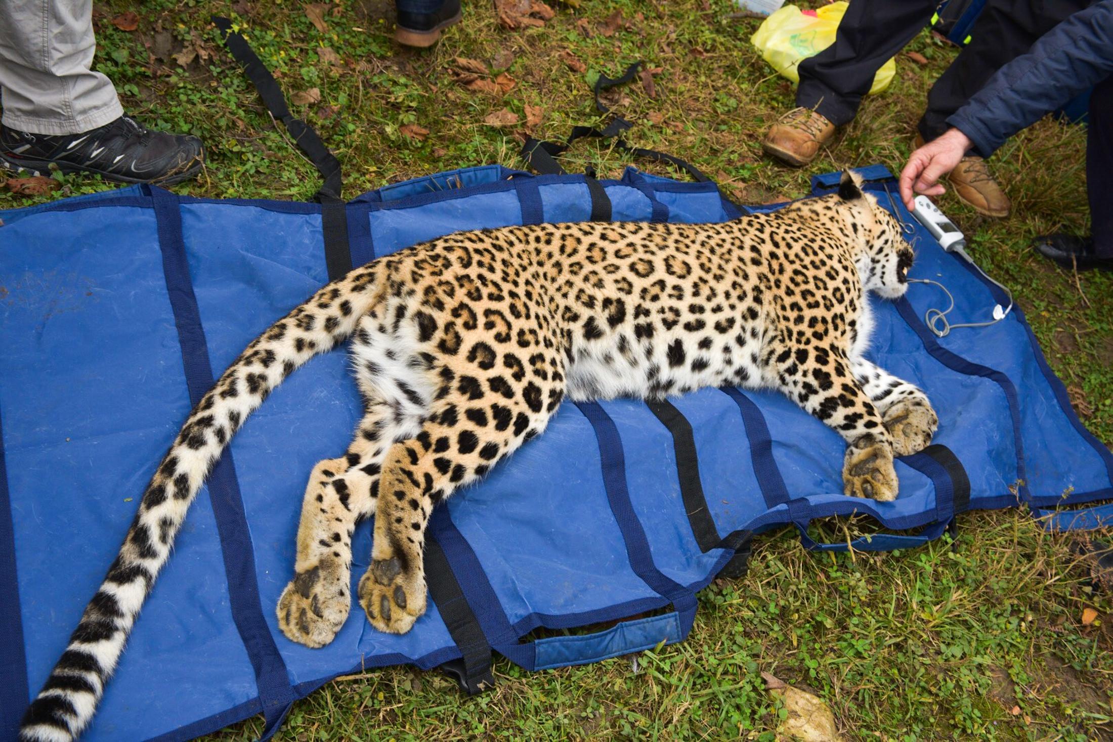 <p>Леопард Виктория. Фото: &copy;РИА Новости/Томас Тхайцук</p>