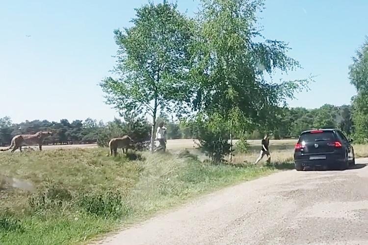 Фото © скриншот видео Aanval jachtluipaarden Beekse Bergen het hele verhaal