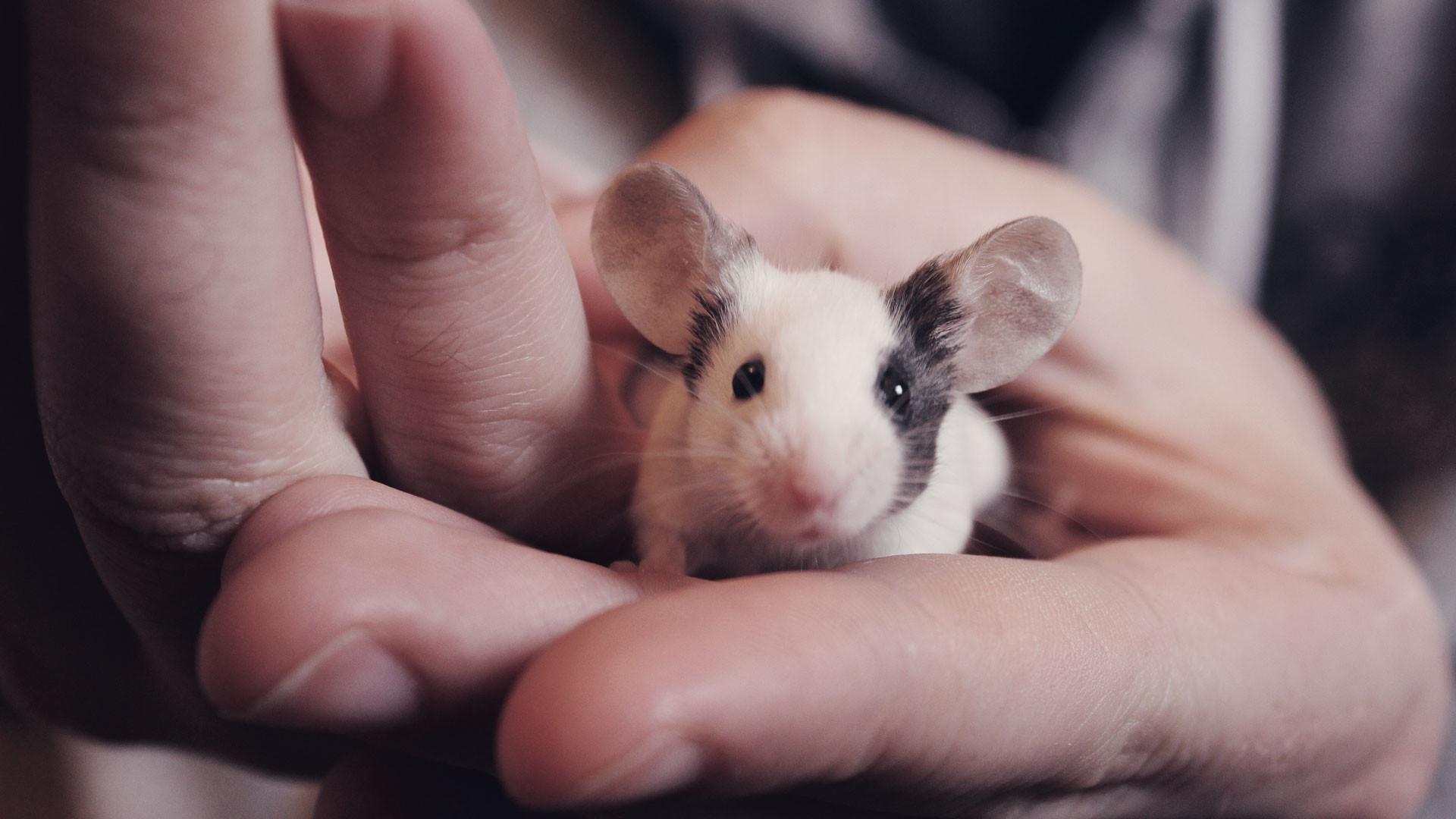 Какие болезни разносят мыши
