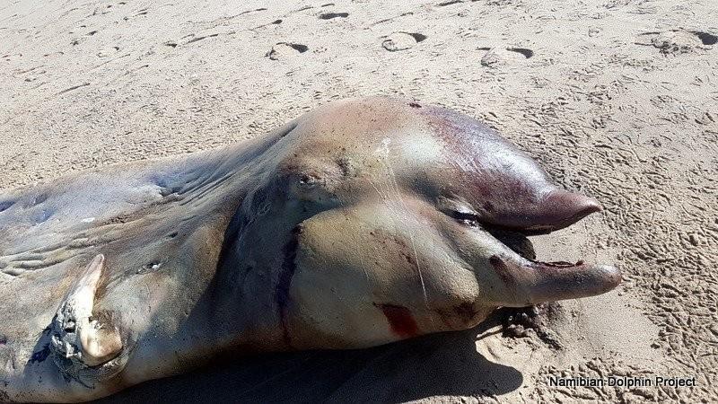 Кит Кювье. Фото: © Namibian Dolphin Project