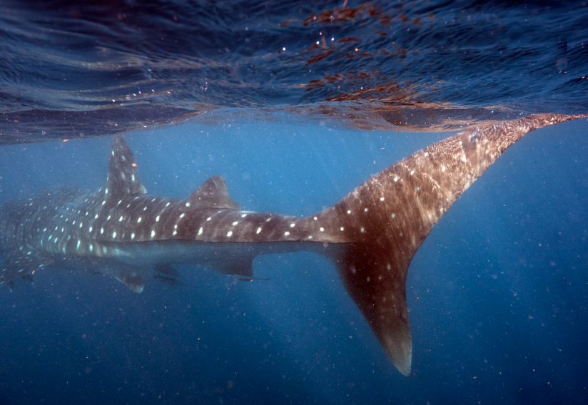 египетские акулы фото печать