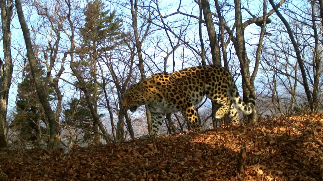 "<p>Фото © Twitter / <a href=""https://twitter.com/Leopard_land"" target=""_self""><strong>Земля леопарда</strong></a></p>"