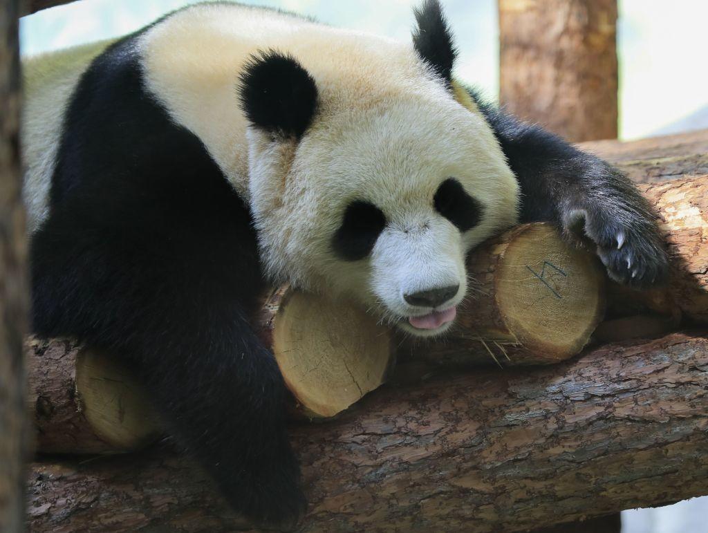 "<p>Фото © <a href=""https://moscowzoo.ru/about-zoo/articles/stati-o-zhivotnykh/bolshie-pandy-moskovskogo-zooparka/?sphrase_id=412988"" target=""_self"">Сайт Московского зоопарка</a></p>"
