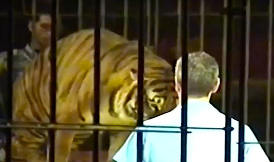 "<p>Погибший дрессировщик во время одного из выступлений. Кадр из видео <a href=""https://www.youtube.com/watch?v=wND-KNC6a9g"" target=""_self"">Domatore ucciso e sbranato da 4 tigri al Circo Orfei/YouTube</a></p>"