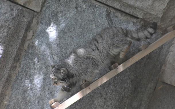 "<p>Фото © <a href=""http://www.moscowzoo.ru/animals/mlekopitayushchie/manul/photo/"" target=""_self"">Московский зоопарк</a></p>"