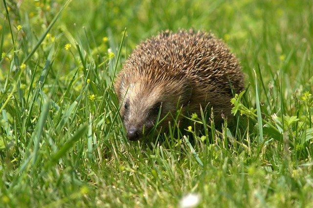 В Британии подросток зверски убил ёжика, нанеся около 130 ударов ногой и палкой