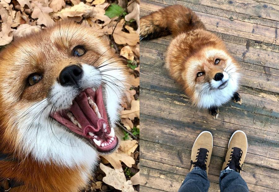 Фото © Instagram / woody_the_fox