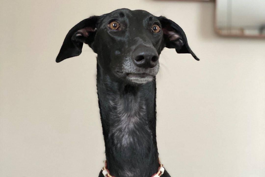 Пёс с феноменально длинной шеей больше похож на жирафа, и хозяева до сих пор не знают, в чём секрет