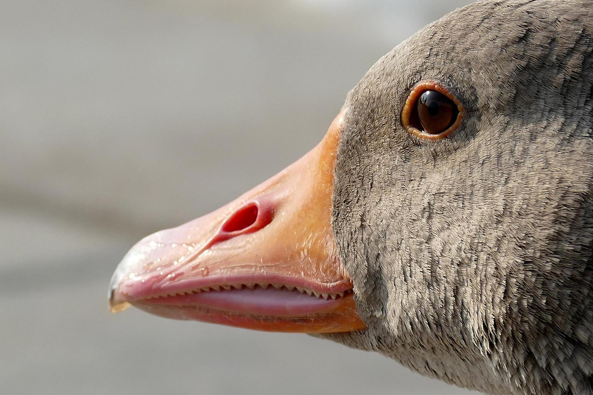 В двух европейских странах выявили вспышку высокопатогенного птичьего гриппа