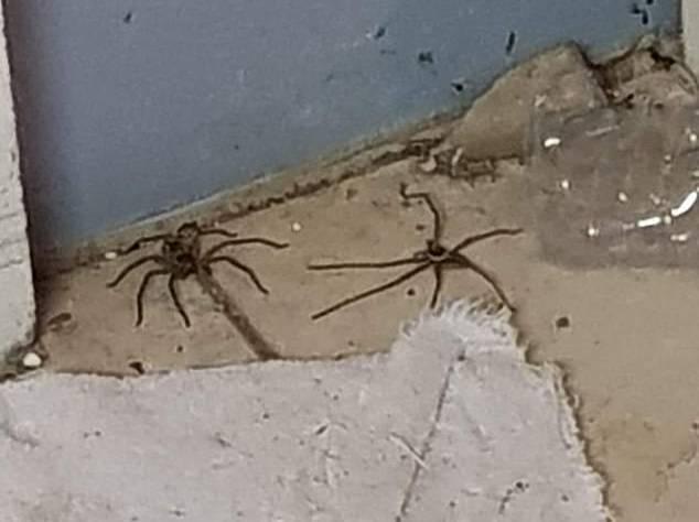 Фото © Facebook / Australian spider identification page