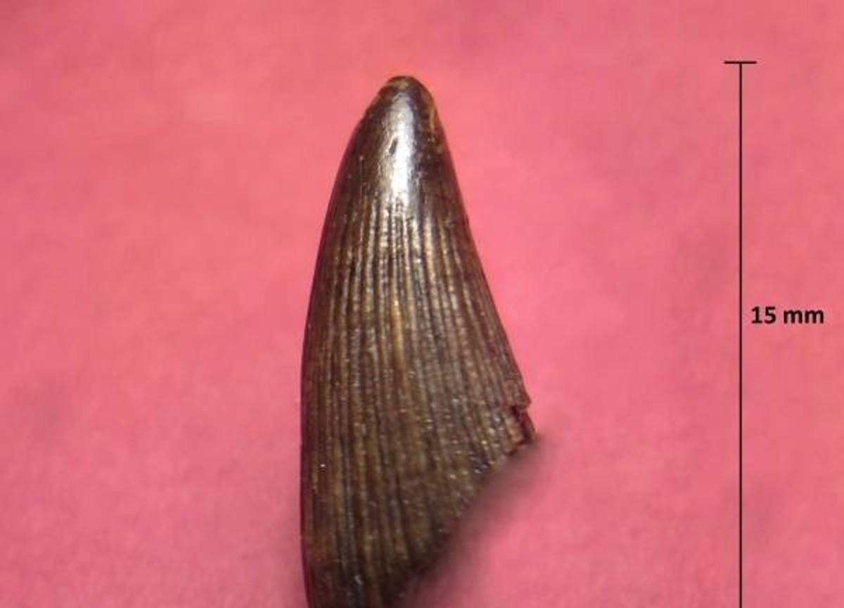Зуб ихтиозавра. Фото © Палеонтологический портал Аммонит.ру