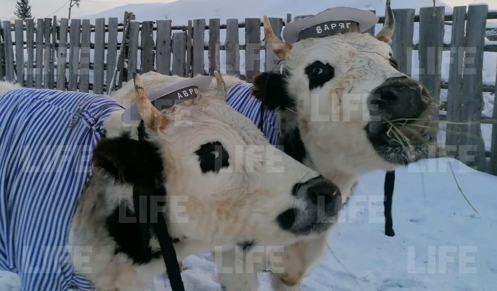 В Якутии провели конкурс красоты для крупнорогатых. Победили быки-близнецы