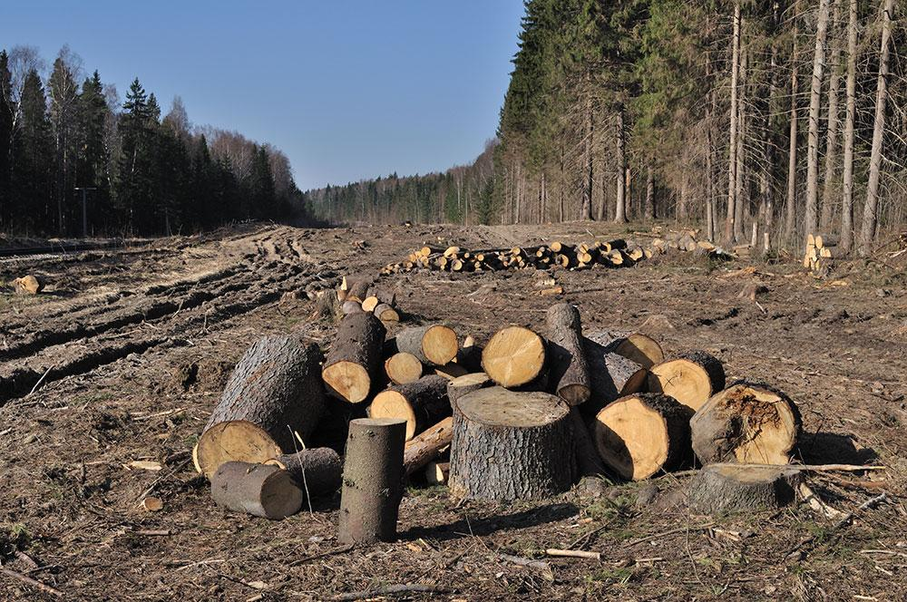 На месте лесов остаются лишь пеньки и чушки. Фото © Shutterstock