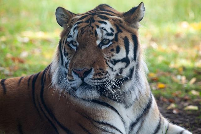 В Хабаровском крае мужчину подозревают в убийстве амурского тигра