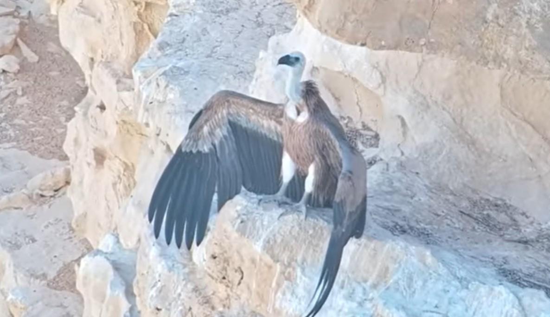 Израильские военные выкормили птенца орла спомощью дрона