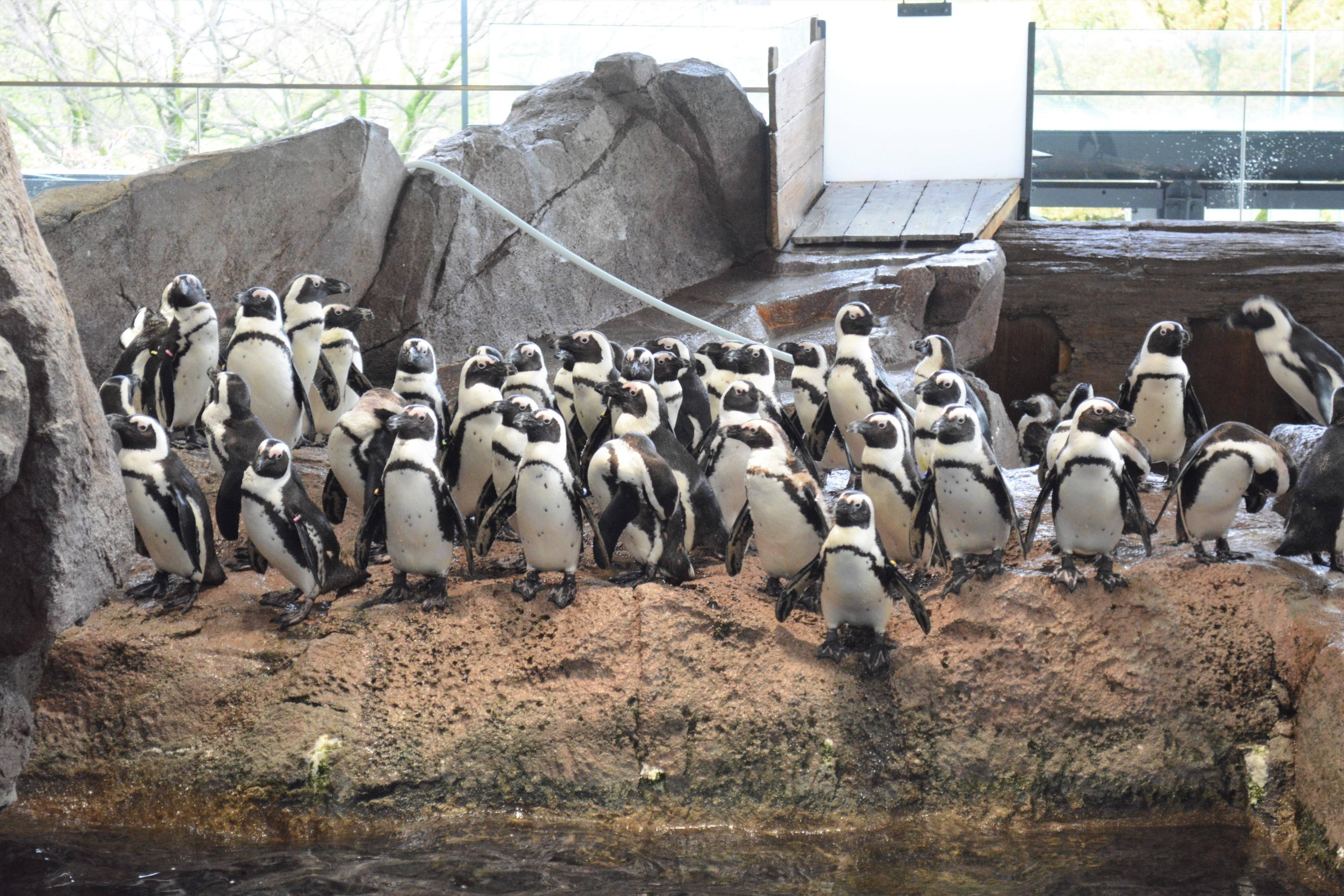"""В океанариуме показали на схеме, какие страсти кипят у пингвинов, и это хуже """"Игры престолов"""""""