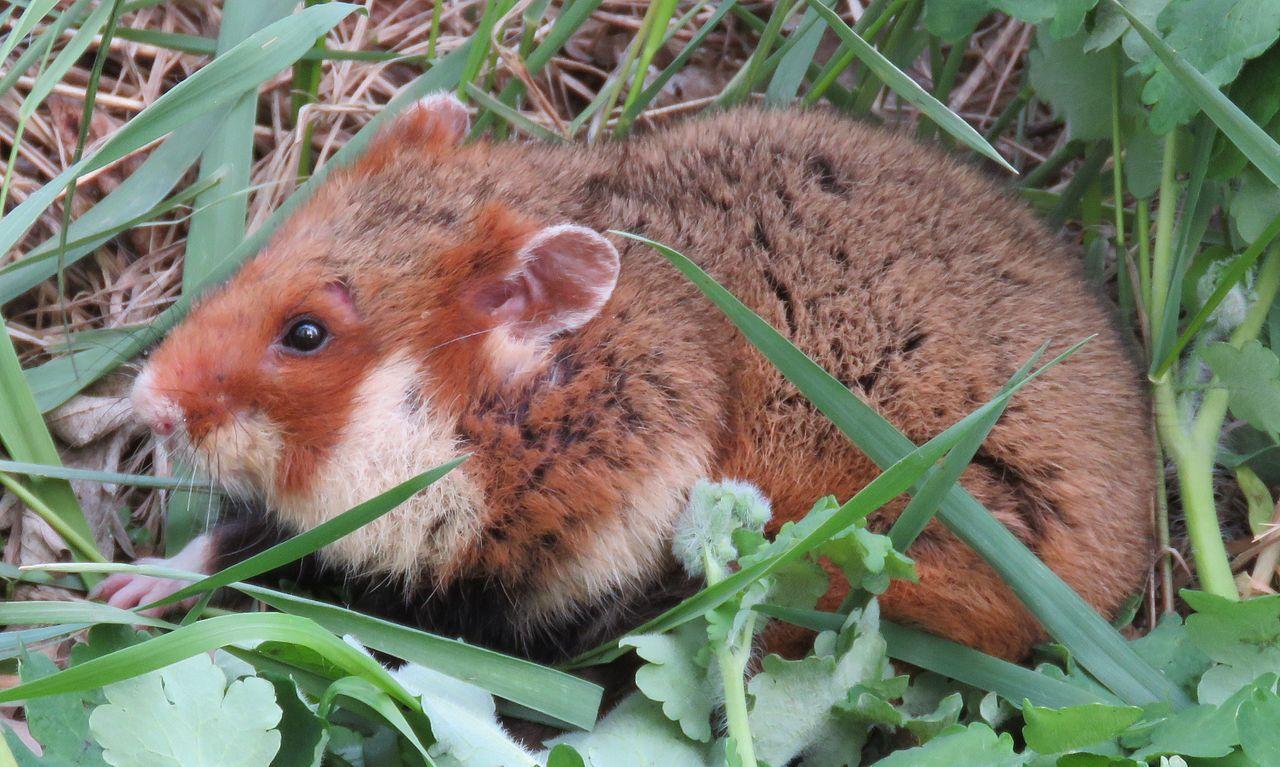 Обыкновенных хомяков из России и Европы признали исчезающим видом