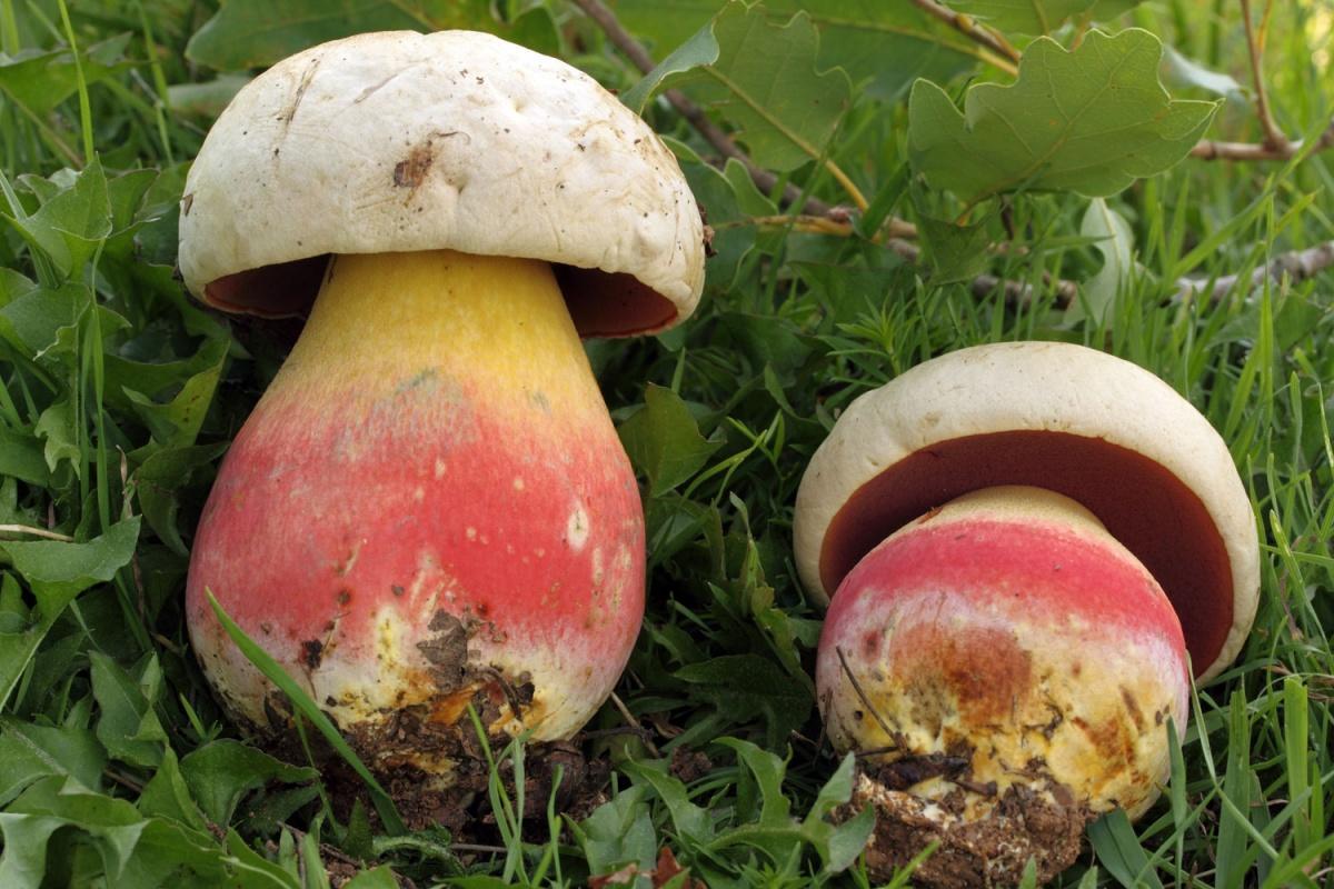 Сатанинский гриб. Фото © Энциклопедия грибов