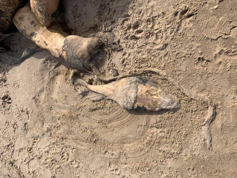 Местные жители испугались 4-метрового чудовища с плавниками и мехом, которое выбросило на берег