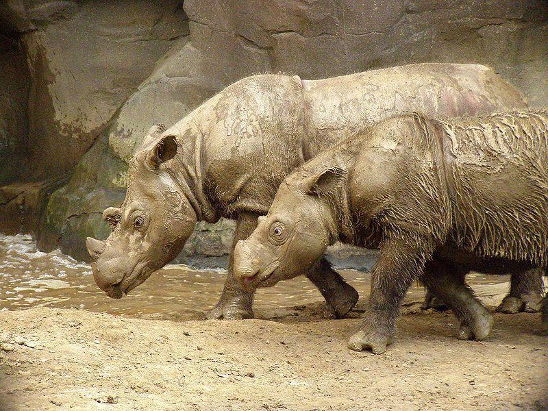 Суматранские носороги. Фото © Flickr / vivtony00