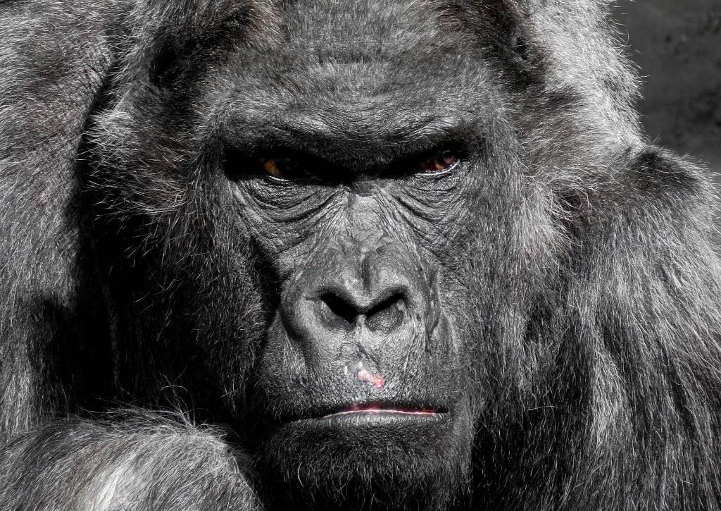 Горилла избила сотрудницу зоопарка до полусмерти