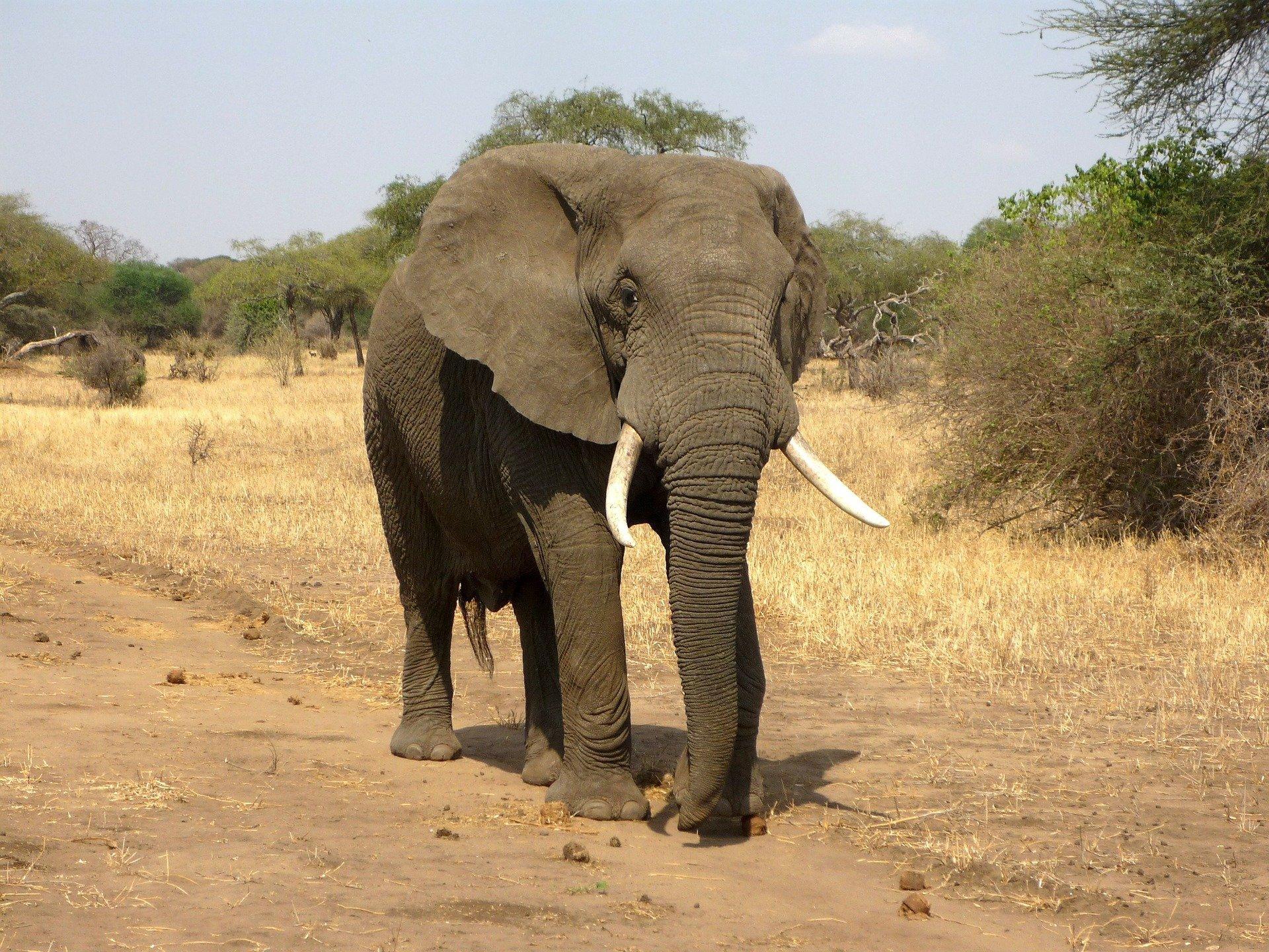 Названа причина таинственной гибели слонов в Африке