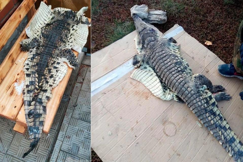 """""""Огромное существо в состоянии анабиоза"""". На Алтае браконьер выловил из реки крокодила"""