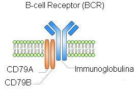 Структура В-клеточного рецептора. Синим показана мембранная форма антитела, красным— гетеродимер CD79a и CD79b.  Фото © Wikipedia