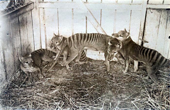 Австралиец встретил сумчатых волков, которые давно вымерли, и готов предъявить доказательства