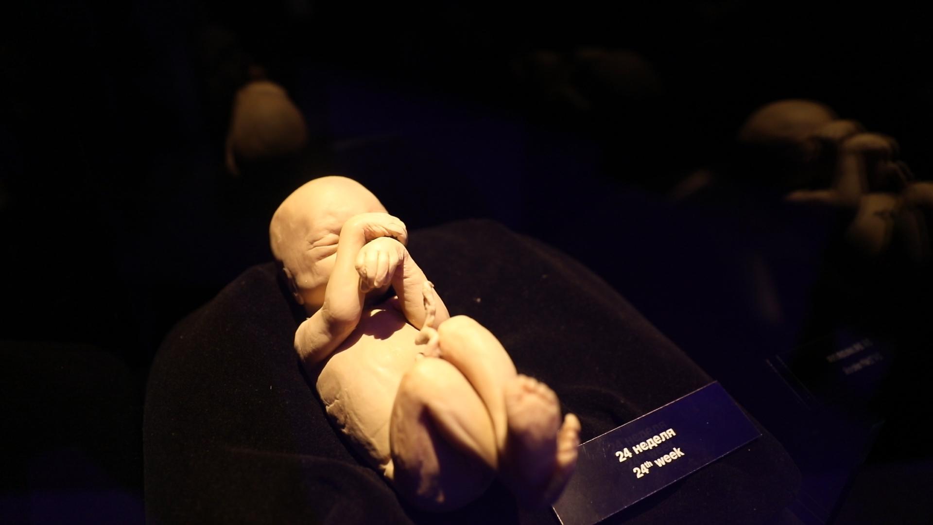 Часть экспозиции рассказывает о развитии эмбриона на разных стадиях. Фото © LIFE