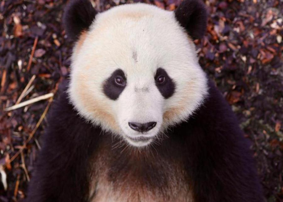 "<p>Фото ©<a href=""https://www.pairidaiza.eu/en/activities/giant-panda"" target=""_blank"" rel=""noopener noreferrer""> pairidaiza.eu </a></p>"