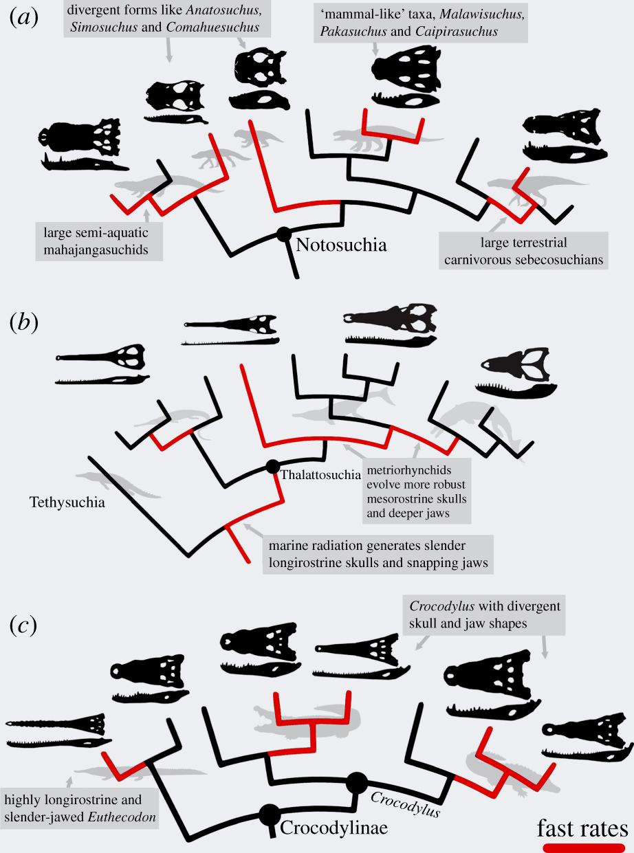Иллюстрация процесса эволюции крокодиломорфов. Фото © Proceedings of the Royal Society B: Biological Sciences